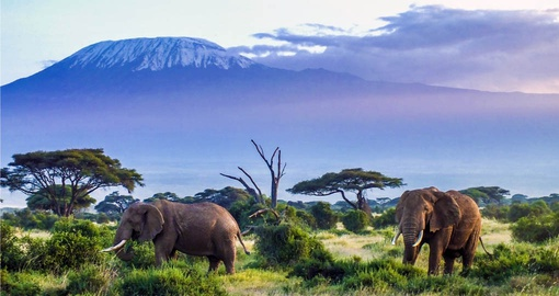 Elephants in the shadow of Mt. Kilimanjaro