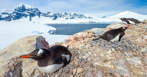 Gentoo Penguin are common inhabitants of the Antarctic Peninsula