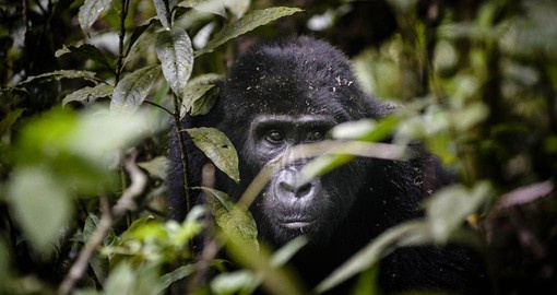 The gorillas are completely wild but have become used to seeing a few humans