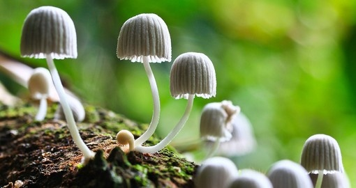 White mushrooms in a Cameron Highlandss forest