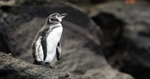 See adorable Galapagos penguins during your next trip to Ecuador.