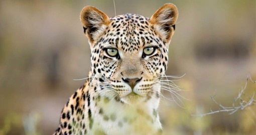 A member of Africa's Big Five, Leopards are one of the most elusive of Chobe's inhabitants