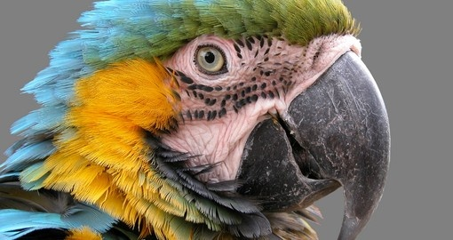 One of Belize City iconic birds, the Macaw, and a highlight on all Belize vacations