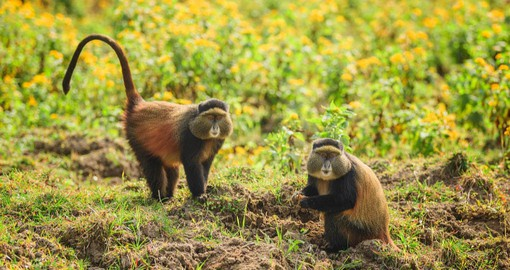 The critically endangered Golden Monkey inhabits the Virunga Mountains of Rwanda