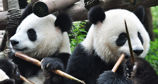 Giant Pandas enjoying a snack