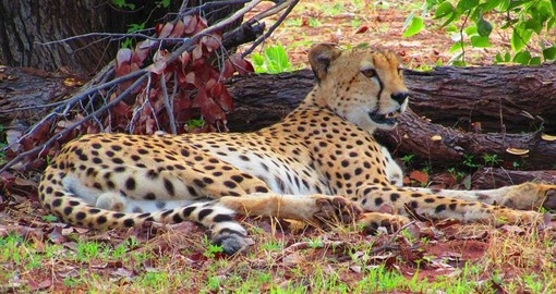 See Cheetah and other big cats on your Zimbabwe Safari