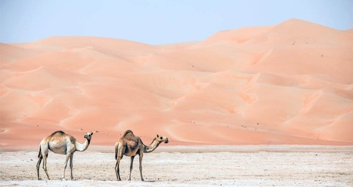Camels in the Liwa Desert are a highlight of your Abu Dhabi vacation packages