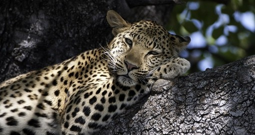 Sneak a picture of a sleepy leopard on our Botswana safaris.