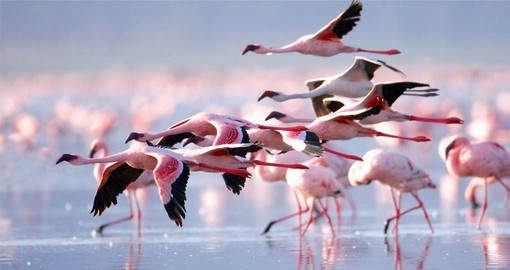 Lake Nakuru, one of the Rift Valley soda lakes is famous for it's vast population of Flamingos