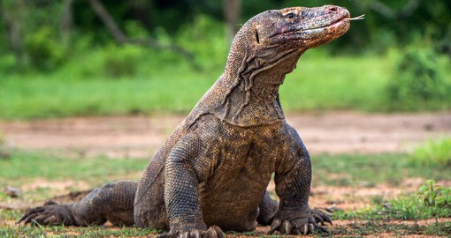 The largest, heaviest lizards in the world, Komodo Dragons are native to the Lesser Sunda islands