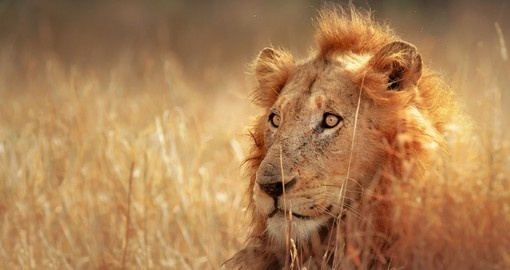 Watch male Lion hunt and experience day in wilderness during your next South Africa safari.