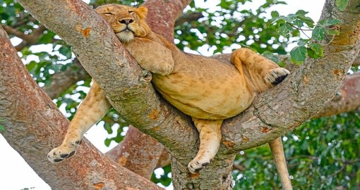 The Ishasha District is famous for its tree-climbing Lions