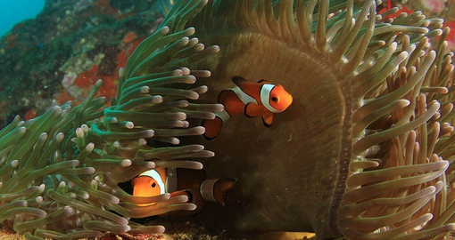 Clownfish in Ningaloo Reef