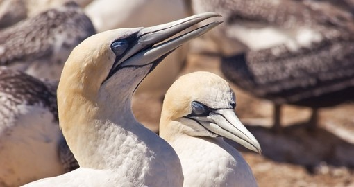 Gannets basking in the sun at Cape Kidnappers gannet colony is a great photo opportunity on your New Zealand vacation
