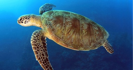 Underneath the waters close to the Great Barrier Reef you can find the aquatic sea turtle swimming to its next destination on your Australia Vacation