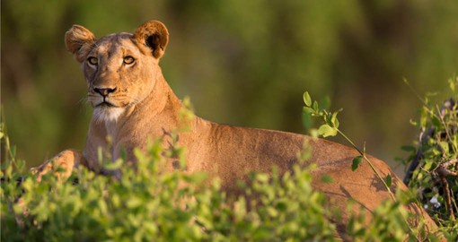 The Samburu National Reserve was one of the two areas in which conservationists George and Joy Adamson raised Elsa the Lioness