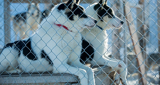 Artic sled dogs in their kennel