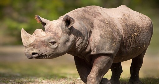 Rhinos, one of Africa`s Big 5, are a part of your Namibia Safari