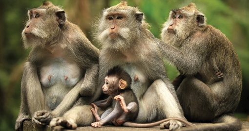 Discover Bali monkeys on your next Indonesia vacations.