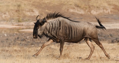 A blue wildebeest running