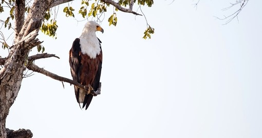 Its more than likely that you will spot a African Fish Eagle on your Botswana safari.