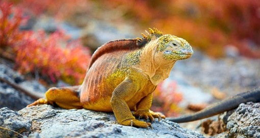 Land Iguanas live in the drier areas of the islands and in the mornings are found sprawled beneath the hot equatorial sun