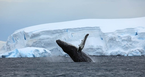 See pods of majestic humpback whales on your Antarctic Vacation