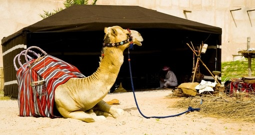 A camel in the old dubai