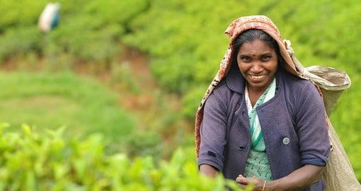 A woman picks tea leaves on a tea plantation