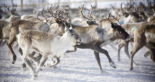 Enjoy A Reindeer experience in Lapland while visiting Finland