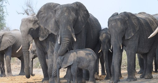 Elephant family group at Chobe National Park - A memorable vist for all Botswana safaris.