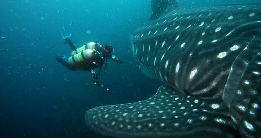 The slow-moving, filter-feeding whale shark is a frequent visitor to the waters of the Galapagos