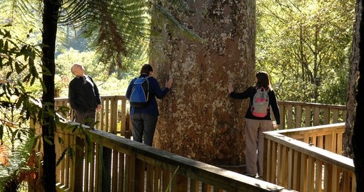 See Giant Kauri Trees and enjoy beauty of the nature during your next Australia tours.