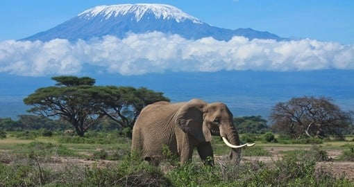Elephant with snow covered Mount Kilimanjaro