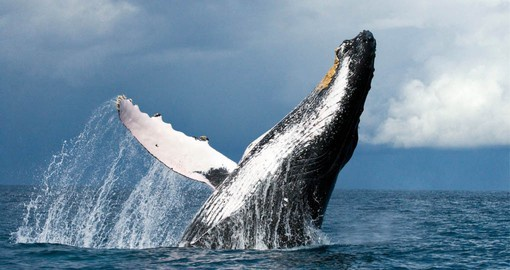 The marine ecosystem of the West Antarctic Peninsula hosts a large population of humpbacks