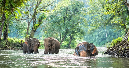 Wild elephants cooling off in a river