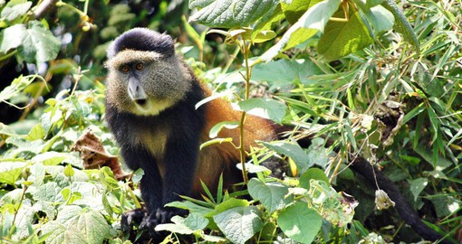 The Volcanoes Nation Park is home to the endangered Golden Monkey