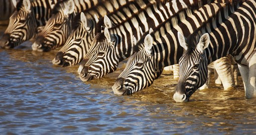 A family of zebras in Etosha National Park