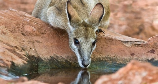 Wallaby drinking from a rock pool - Western Australia