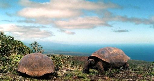 See The Giant Galapagos Land Tortoise on your Galapagos Tours