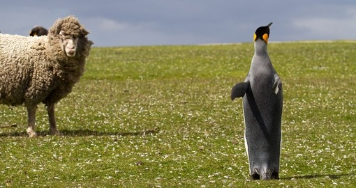 King Penguin and a curious sheep