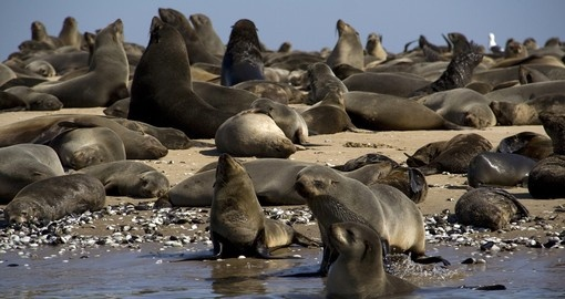 Meet Cape fur Seals during your next South Africa tours.