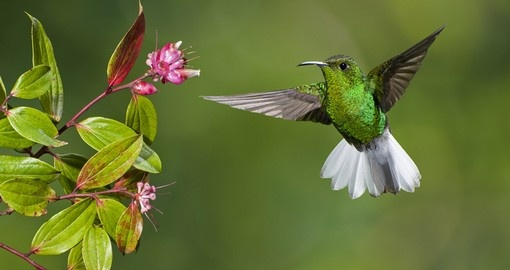 One of Monteverde icons, the Coppery-headed Emerald Humming bird, and a highlight on all Costo Rica tours