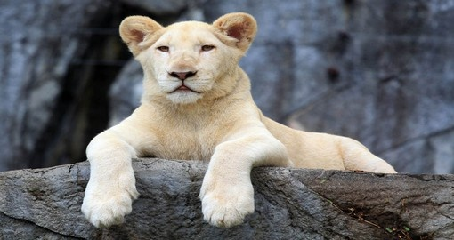 Timbavati, renown for it's White Lions