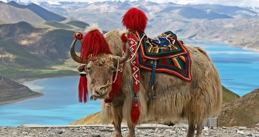 Enjoy unique Himalayan Yaks on your trip to Bhutan