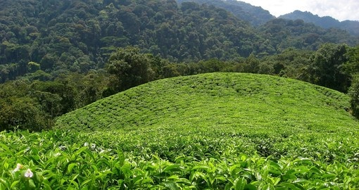 Explore Tea plantation during your next Rwanda safari.