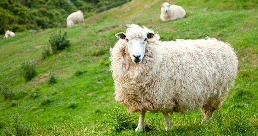 New Zealand is famous for sheep