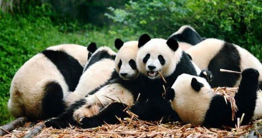 Visitors can closely observe the Giant Pandas of different ages in their natural habitat