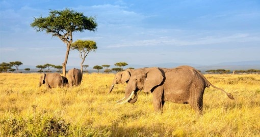 See herds of Elephants on your Kenyan Safari