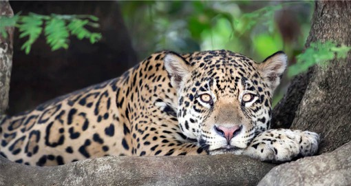 Jaguars typically stay close to water and they like to fish